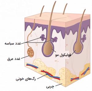 غدد برون ریز پوستی