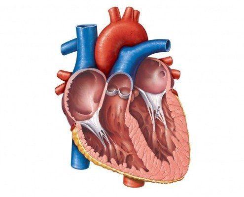 نمای قلب داخلی